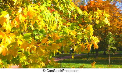 Autumn leaves fall from maple branches