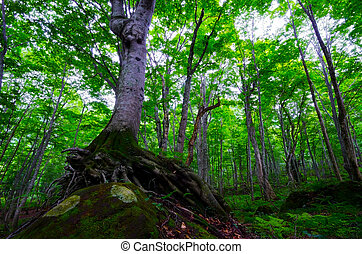 beech forest, Shirakami Sanchi World Heritage, Japan.