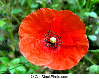 Papaver rhoeas, more commonly known as a red poppy