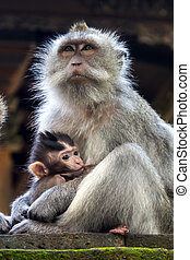 Thoughtful monkey with a baby at sacred monkey forest, Ubud,...