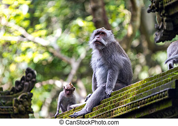 Two monkeys in Bali Ubud forest - Two monkeys at sacred...