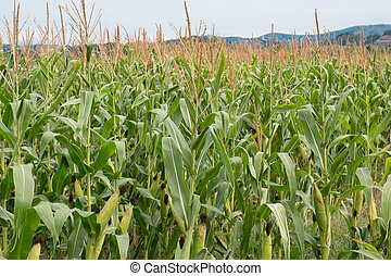 Cornfield - Row of fresh unpicked corn with hills on the...