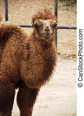 baby Bactrian camel - The Bactrian camel is a large...