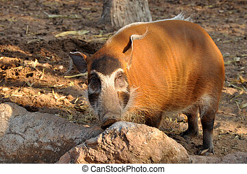 The Red River Hog lives in rainforests and wet dense...