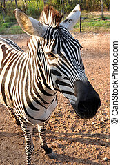 the young zebra in the zoo
