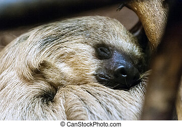 Southern two-toed sloth sleeping on the tree