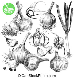 Garlic - Collection of hand drawn illustrations with garlics...