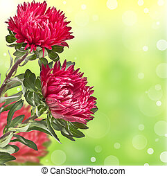 lilac chrysanthemums on soft background bokeh - beautiful...