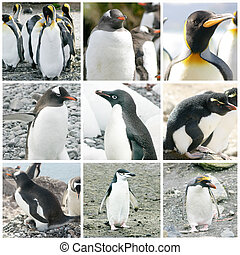 Collage with different penguin species from Antarctica,...