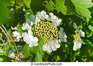 Spring flowering of viburnum - Flowering of viburnum on june...
