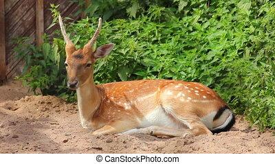 lying young deer