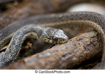 garter snake - A close up view of the head of a garter snake...