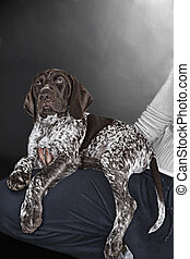 Puppy German Shorthaired Pointer