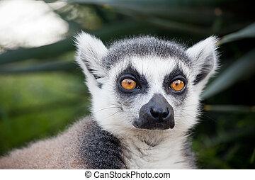 Lemur of Madagascar - Ring-tailed lemur (Lemur catta): a...