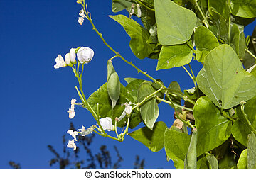 Peas in the garden - Pea plant (Pisum sativum) before...