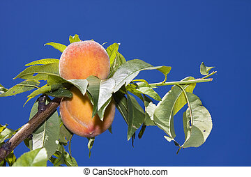 Peaches on tree - Peaches (Prunus persica nectarin) before...