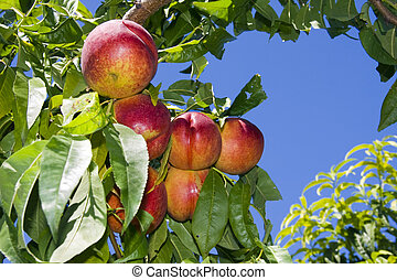 Nectarines on tree - Nectarines (Prunus persica nectarin)...