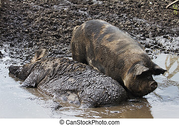 pig ,  dirt - pig, farm, cattle breeding