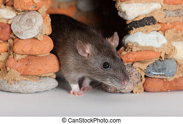 my house - domestic rat in a small stone house
