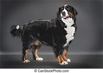 Berner sennen dog