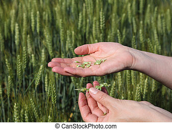 Agronomy - Quality of wheat inspecting, hands with fresh...