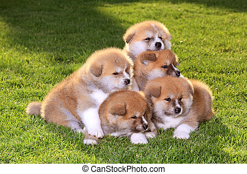 Pets - Five  Akita Inu puppy dog on green grass