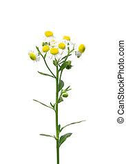 Annual fleabane (Erigeron annuus)