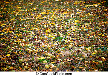 Hickory nuts on the ground-1 - Hickory nuts on the ground