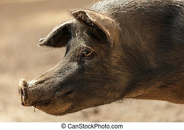 wild pig portrait - profile portrait of wild black pig