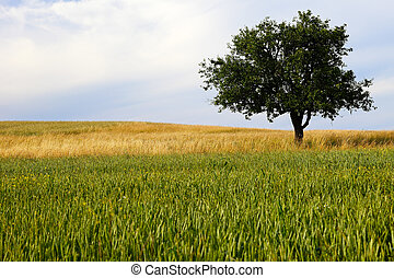 Lonely apple tree and cornfield in warm evening sun, summer,...