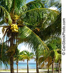 Coconut Grove - A dense grove of coconut trees with a view...
