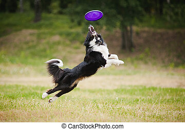 Frisbee dog - black and white dog catching disc in jump