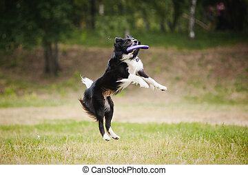 Frisbee dog catching disc - black and white dog catching...