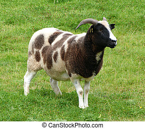 A Jacob Ewe an Old Breed of Horned Sheep