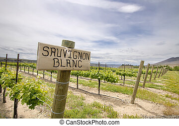 Sauvignon Blanc Grapes Growing in Vineyard - Sauvignon Blanc...