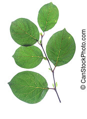 Quince (Cydonia oblonga) - small sprig with leaves of quince...
