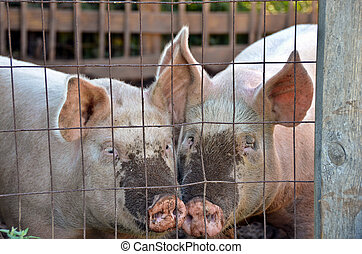 pigs in pig pen - Pair of pigs in pig pen.