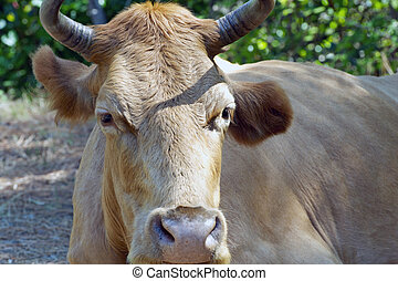 Friendly brown cow - A friendly cow living in corsica,...