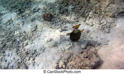 triggerfish searching food
