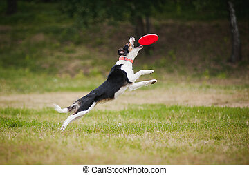Frisbee dog border collie catching - border collie dog...