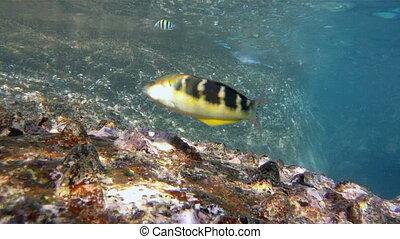 fish Jansen's wrasse Thalassoma jan