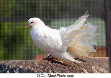 purebred pigeon - purebred white pigeon in a cage at an...