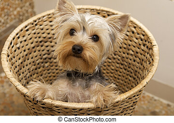 Yorkshire Terrier - puppy Yorkshire Terrier