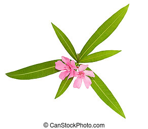 oleander flowers and leaves isolated on white