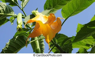 Angel`s trumpet is blooming