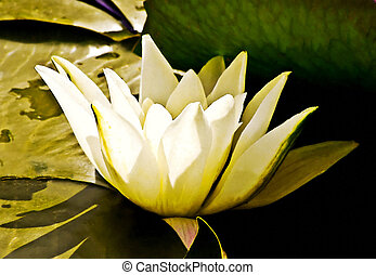 White Water Lily - White water lily, drawing effect