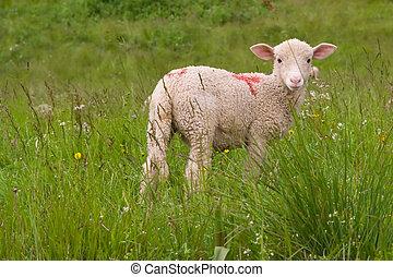 lamb in a prairie