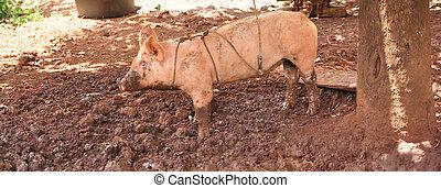 a cute pigs on a pigfarm , Thailand