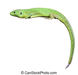 green lizard with a twisted tail Isolated over white...