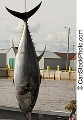 Blue Fin Tuna - Giant blue fin tuna at North Lake Prince...